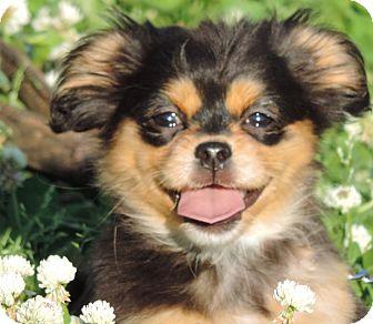 Shih Tzu/Dachshund Mix Puppy for adoption in Anderson, South Carolina - Gidget