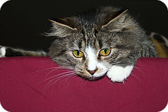 Domestic Mediumhair Cat for adoption in North Branford, Connecticut - Qunioa