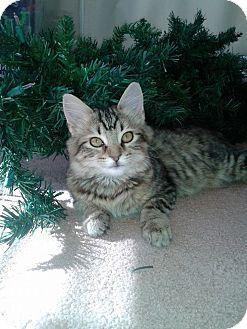 Domestic Mediumhair Kitten for adoption in Homewood, Alabama - Lilybelle