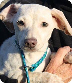Dachshund Mix Puppy for adoption in Pleasanton, California - Dolly