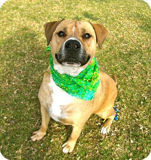 Labrador Retriever/Boxer Mix Dog for adoption in El Cajon, California - Hero