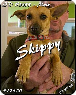 Chihuahua/Dachshund Mix Dog for adoption in Corinth, Mississippi - Skippy