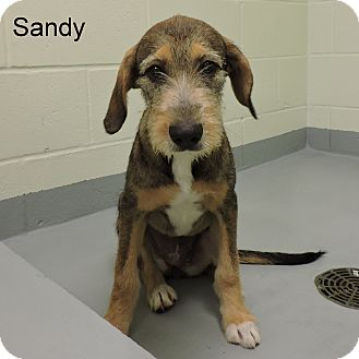 Bloodhound/Terrier (Unknown Type, Medium) Mix Puppy for adoption in Slidell, Louisiana - Sandy