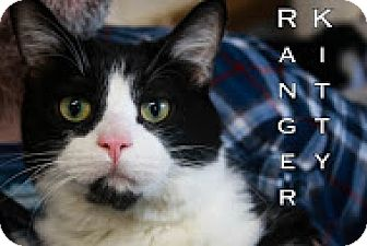 Domestic Shorthair Cat for adoption in Union Lake, Michigan - Ranger Kitty $50