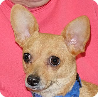 Chihuahua Mix Dog for adoption in Spokane, Washington - Sara
