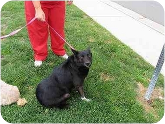 Border Collie/Labrador Retriever Mix Dog for adoption in Denver, Colorado - Annie