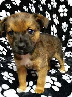 Shepherd (Unknown Type) Mix Puppy for adoption in Plainfield, Illinois - Ariel