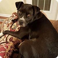 Adopt A Pet :: Socks - Bristol, TN