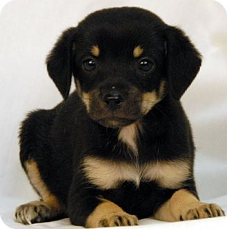 Dachshund/Chihuahua Mix Puppy for adoption in Newland, North Carolina - Shai
