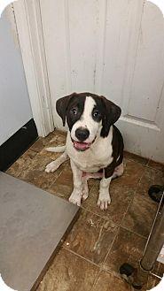 St. Bernard/Labrador Retriever Mix Puppy for adoption in Darlington, South Carolina - Billie