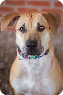 Labrador Retriever Mix Dog for adoption in Cincinnati, Ohio - Bella