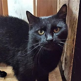 Domestic Shorthair/Domestic Shorthair Mix Cat for adoption in Encinitas, California - Nathan