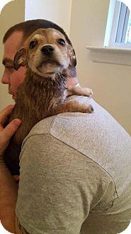 Husky/Siberian Husky Mix Puppy for adoption in Dayton, Maryland - Quinn