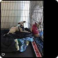 Adopt A Pet :: Rose - Fallbrook, CA