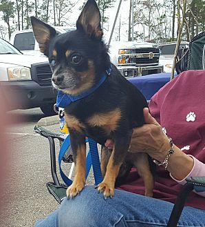 Chihuahua Mix Dog for adoption in Jacksonville, North Carolina - Rottieboy