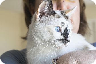 Siamese Cat for adoption in Nashville, Tennessee - Blue