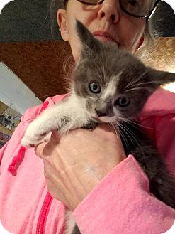 Domestic Shorthair Kitten for adoption in Geneseo, Illinois - Donatello