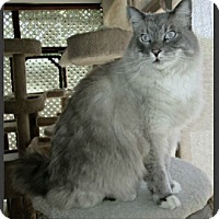 Ragdoll Cat for adoption in Gilbert, Arizona - Cotton