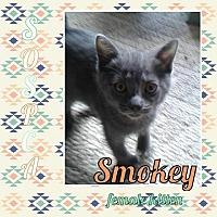 Adopt A Pet :: Smokey *polydactyl* - Zanesville, OH