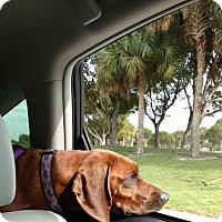 Redbone Coonhound Dog for adoption in Boca Raton, Florida - Maggie
