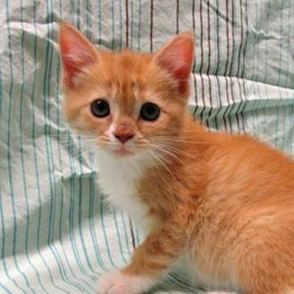 Domestic Shorthair/Domestic Shorthair Mix Cat for adoption in Fayetteville, Tennessee - Daisy