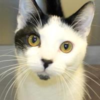 Adopt A Pet :: Bam Bam - Victoria, TX