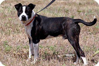 Terrier (Unknown Type, Medium) Mix Dog for adoption in DeForest, Wisconsin - Ozzy