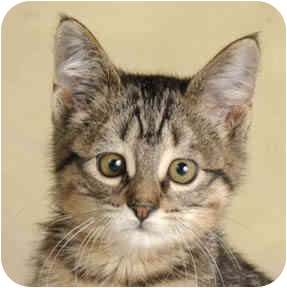 Domestic Shorthair Kitten for adoption in Chicago, Illinois - Morgan