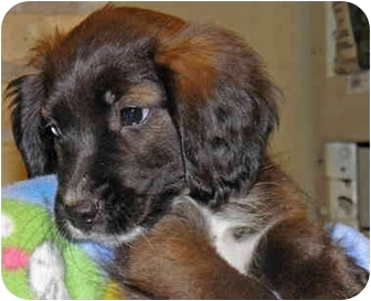 Spaniel (Unknown Type) Mix Puppy for adoption in Mt. Prospect, Illinois - Raisinette