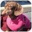 Photo 1 - Dachshund Dog for adoption in Portsmouth, Rhode Island - Cocoa