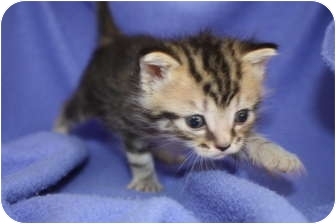Domestic Shorthair Kitten for adoption in Union, Kentucky - Nicole