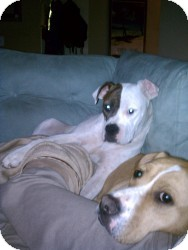 Boxer/American Pit Bull Terrier Mix Dog for adoption in Dayton, Ohio - Paige