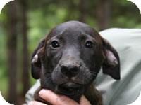 Labrador Retriever/Border Collie Mix Puppy for adoption in Avon, New York - Delano
