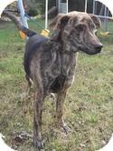 Plott Hound Dog for adoption in Brattleboro, Vermont - Apollo (Urgent) $200 adopt.fee