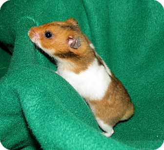 Hamster for adoption in Lewisville, Texas - James