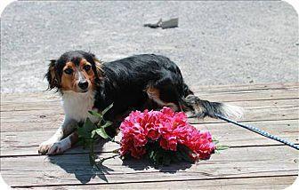 Sheltie, Shetland Sheepdog/Dachshund Mix Dog for adoption in Chicago, Illinois - Alyssa(ADOPTED!)