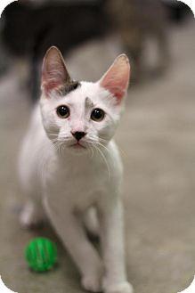 Domestic Shorthair Kitten for adoption in Sacramento, California - Sir Barton