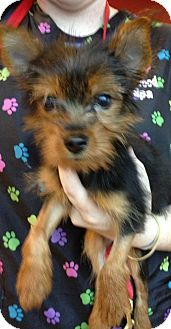 Yorkie, Yorkshire Terrier Puppy for adoption in Fairview Heights, Illinois - Duncan