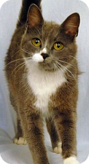 Domestic Shorthair Cat for adoption in Newland, North Carolina - Susie