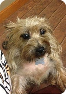 Cairn Terrier Mix Dog for adoption in Freeport, New York - Daisy