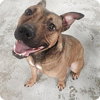 Adopt A Pet :: Pickle - New York, NY