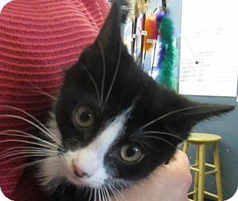 Domestic Shorthair Kitten for adoption in Lloydminster, Alberta - Koodo