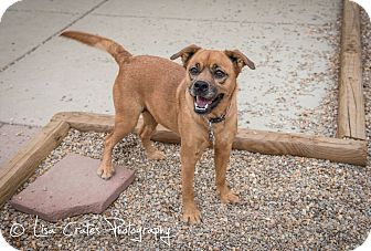 Shepherd (Unknown Type)/Pug Mix Dog for adoption in Harrisburg, North Carolina - Gracie