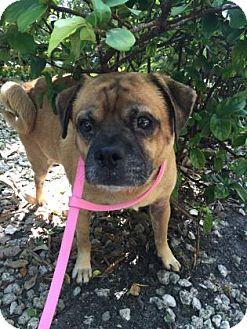 Pug/Beagle Mix Dog for adoption in Miami, Florida - S/C Dante