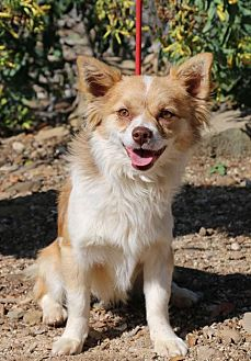 Pomeranian/Chihuahua Mix Dog for adoption in Fillmore, California - Bruiser