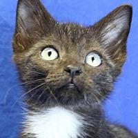 Domestic Shorthair Kitten for adoption in Winston-Salem, North Carolina - Boyd