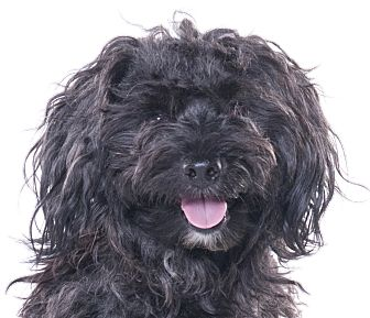 Poodle (Miniature)/Yorkie, Yorkshire Terrier Mix Dog for adoption in Chicago, Illinois - Pierre