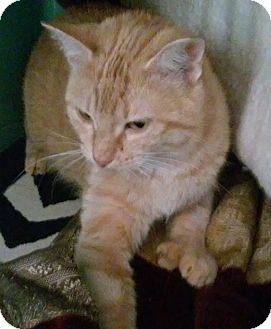 Domestic Shorthair Cat for adoption in Franklin, New Hampshire - Neriah