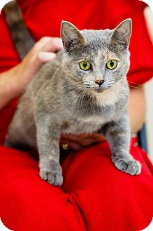 Domestic Shorthair Cat for adoption in Windsor, Virginia - Gretchen