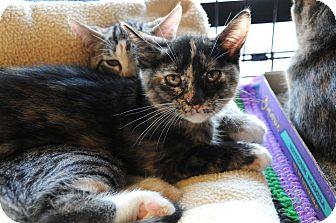 Calico Kitten for adoption in Houston, Texas - Coco